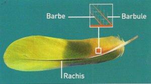 Anatomie d'une plume