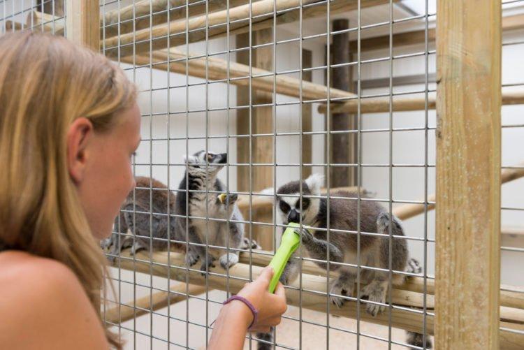 Enfant donnant à manger au lémurien